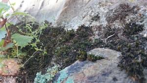 L'esporòfit de la molsa amb els seus gametòfits