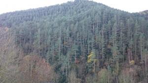 Bosc Planoles