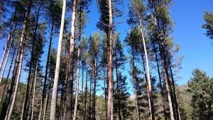 Pinus silvestris, pi roig