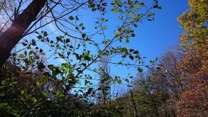 Vern, bosc de ribera, Alnus Glutinosa